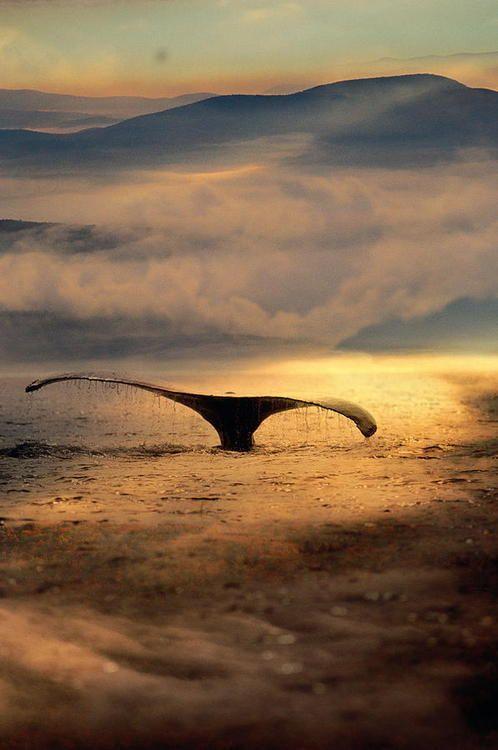 Espèces animales menacées : nouvelles mesures concernant les baleines noires