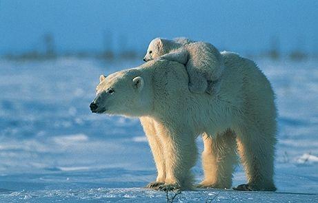 Un ours polaire dans le couloir de votre immeuble …