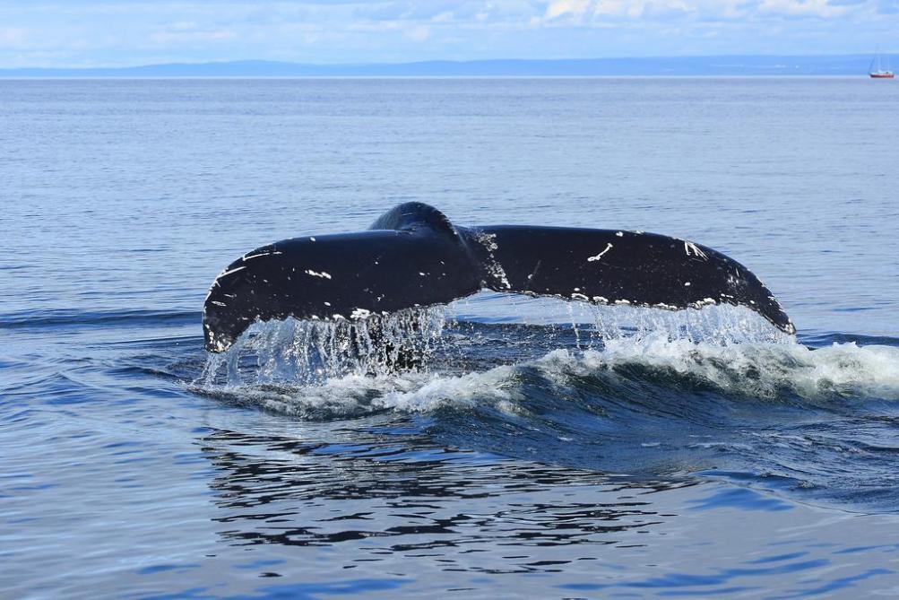 Espèces animales menacées : les baleines noires de l'Atlantique : 400 moins combien encore ?